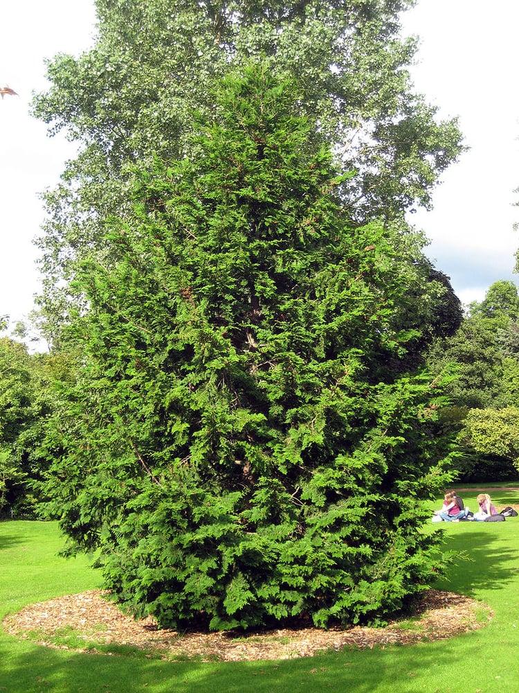 hinoki cypress.jpg