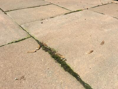 moss in pavers